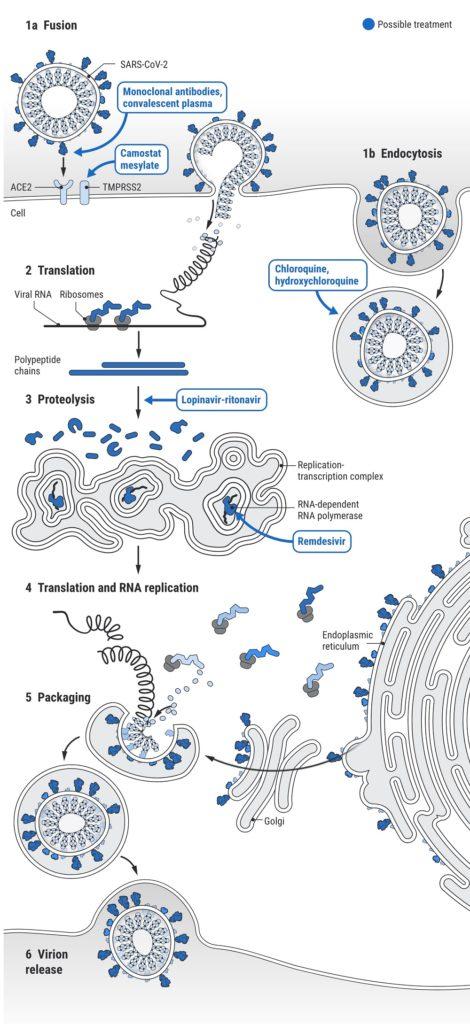 Coronavirus : schemas des traitement