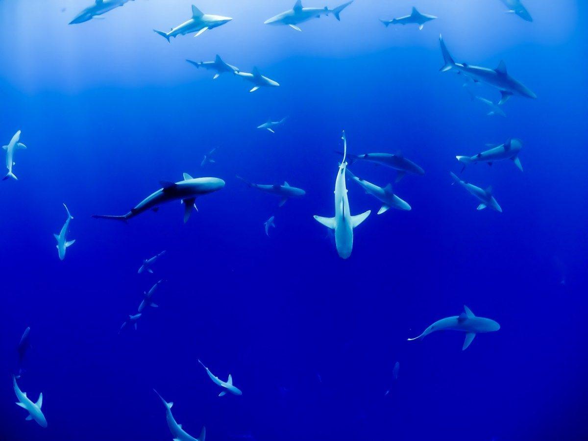 Les requins sont-ils menacés à cause d'un vaccin anti-Covid ?