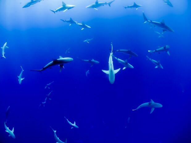 Squalène : Les requins sont menaccès par le vaccin anti-19